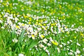 daisy flowers field background