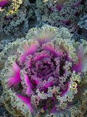 picture of water cabbage  - Ornamental cabbage and Purple cabbage crops at field - JPG