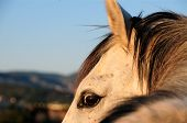 image of dapple-grey  - Dapple grey horse looking over his field - JPG