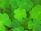 green background with three-leaved shamrocks. St.Patrick's day holiday symbol. Shallow depth of fiel