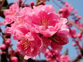 image of beautiful flower  - Beautiful pink cherry flowers inflorescence - JPG