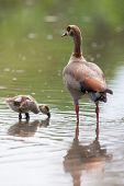 pic of baby goose  - Egyptian goose family go for a swim on their own in dangerous wild water - JPG