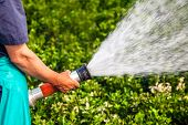 picture of gushing  - men hand watering the plants - JPG