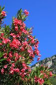 picture of oleander  - closeup of blooming oleander branch mediterranean landscape - JPG