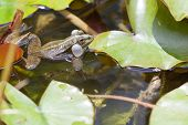 pic of baby frog  - Frog sitting on a pond in Budapest park - JPG