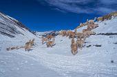 image of alpaca  - Fury domestic alpacas on snow in high altitudes in peruvian Andes south America - JPG