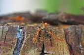 picture of ant  - weaver ants are carrying the prey on the tree bark