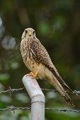 stock photo of bird fence  - beautiful female Common Kestrel  - JPG