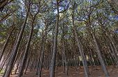 image of redwood forest  - Forest of pine trees along tuscany coast - JPG
