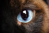 picture of siamese  - one siamese cat eye macro closeup - JPG