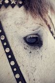 foto of  horse  - An eye of a white horse in a harness - JPG