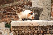 picture of cat-tail  - Cat in Ephesus, Cat, Cat Face, Cat Looking Away, Antique