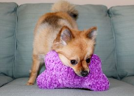 picture of toy dogs  - A beautiful pure breed Pomeranian Dog Smiles and plays with her favorite Squeaky toy - JPG