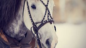 picture of stallion  - Muzzle of a white horse in a harness - JPG