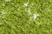 stock photo of green algae  - Green wet algae Cystoseira on sunny beach - JPG