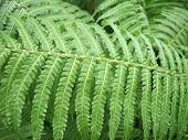 picture of fern  - Leaves of a single green fern frond - JPG