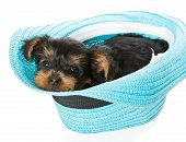 stock photo of yorkshire terrier  - Small Yorkshire Terrier sitting in a beach hat isolated on white background - JPG