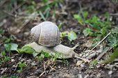 stock photo of hermaphrodite  - A little snail in the garden at summer - JPG
