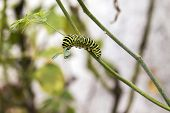 picture of transformation  - Papilio machaon butterfly larvae eating Ruta chalepensis plant.its the first transformation stage of The Old World Swallowtail a butterfly of the family Papilionidae.