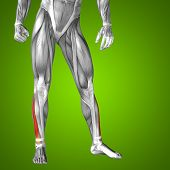 stock photo of human muscle  - Concept or conceptual 3D extensor digitorum longus human lower leg anatomy or anatomical and muscle on green gradient background - JPG