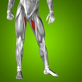 picture of human muscle  - Concept or conceptual 3D adductor longus human upper leg anatomy or anatomical and muscle on green gradient background - JPG