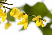 stock photo of broom  - Macro shot of French Broom blossoms - JPG