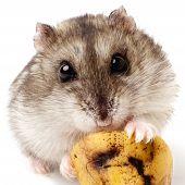 foto of hamster  - hamster holding a old banana - JPG