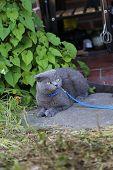 pic of scottish-fold  - Gray Scottish fold kitten on a leash outside - JPG