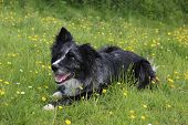 picture of border collie  - Blue merle border collie relaxing for a moment amongst some spring buttercups - JPG