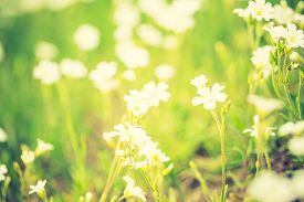 picture of musky  - Vintage photo of blooming white flowers of chickweed in green grass - JPG