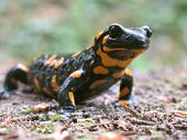 stock photo of amphibious  - fire salamander to go hunt - JPG