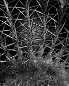 picture of mutilated  - a barrel cactus photograph rendered in black and white and manipulated to look like a scary thorny alien hand.