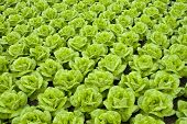 foto of butter-lettuce  - rows of fresh green lettuce or butter - JPG