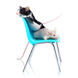 picture of fancy mouse  - two fancy mice on a blue chair isolated on white background - JPG