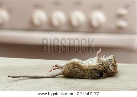 Dead mouse in