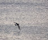 An Oystercatcher Flying Over The Waters Of The English Channel Near Bournemouth poster