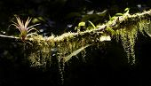 pic of epiphyte  - Epiphytes growing on a branch in a rain forest - JPG