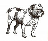 stock photo of dessin  - illustration of english bulldog in black and white - JPG