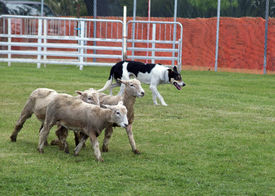 image of working-dogs  - A Sheep dog working in a dog trial  - JPG