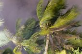 Palm Trees Blowing In The Wind During Hurricane poster