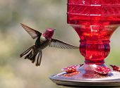 A Ruby Headed Hummingbird Hovering By A Feeder poster