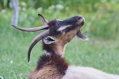 Portrait Of Black Adult Goat Grassing On Summer Meadow Field At Village Countryside poster
