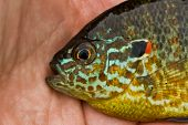stock photo of bluegill  - Colorful Pumpkinseed Sunfish in an angler - JPG