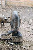 Domestication wild boar feeding poster