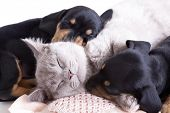 stock photo of dachshund dog  - British kitten rare color  - JPG
