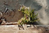 Macro Photo Of Single Green Plant In Sand Land Nature Drought. Lonely Strong Root Of Old Tree In Dry poster