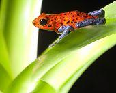 red poison dart frog dendrobates pumilio tropical rainforest frog poster