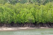 Mangrove forest by the coast line. Water and mangroves roots. Nature, tourism destination, tourist a poster