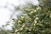 Olive trees garden. Mediterranean olive farm ready for harvest. Italian olives grove with ripe fres poster