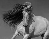 Close up black-and-white portrait of white Spanish horse with long mane. poster